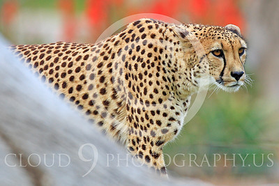 South African Cheetah 00020 A hunting adult South African cheetah stares at prey, by Peter J Mancus