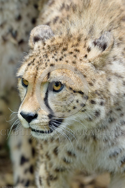 South African Cheetah 00155 A tight crop portrait of an alert adult South African Cheetah wildlife picture by Peter J  Mancus