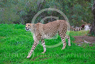 South African Cheetah 00016 A walking, adult, South African cheetah looks up, by Peter J Mancus