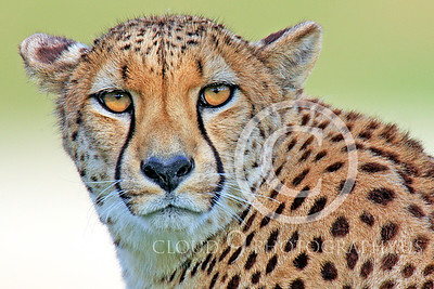 South African Cheetah 00006 An alert adult South African cheetah, by Peter J Mancus