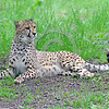 South African Cheetah 00162 A beautiful resting alert adult South African cheetahs wildlife picture by Peter J  Mancus