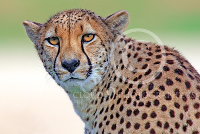 South African Cheetah 00025 A classic South African cheetah stare, by Peter J Mancus