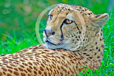 South African Cheetah 00026 An adult South African cheetah at rest stares, by Peter J Mancus