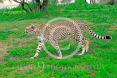 South African Cheetah 00002 A walking adult South African cheetah, by Peter J Mancus