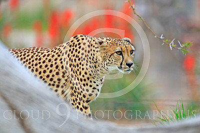 South African Cheetah 00004 A hunting adult South African cheetah stares at prey, by Peter J Mancus