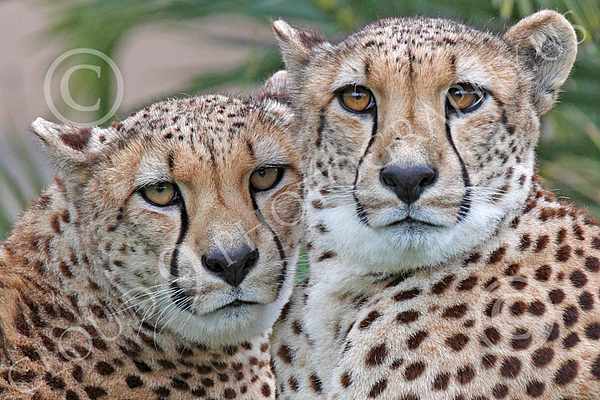 South African Cheetah 00180 A close-up portrait of two alert south African cheetahs, by Peter J Mancus