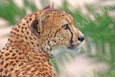 South African Cheetah 00015 Side profile portrait of an adult South African cheetah at rest, by Peter J Mancus