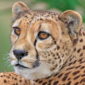 South African Cheetah 00014 An alert South African cheetah, by Peter J Mancus