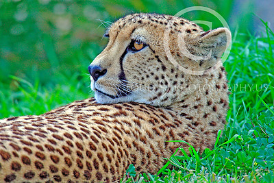 South African Cheetah 00012 An adult South African cheetah at rest in cover, by Peter J Mancus