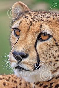 South African Cheetah 00005 An alert South African cheetah, by Peter J Mancus