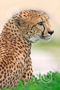 South African Cheetah 00003 An adult South African cheetah sits up and looks around, by Peter J Mancus