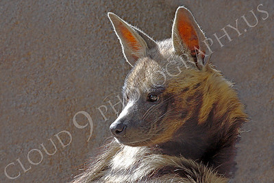Striped Hyena 00002 by Peter J Mancus