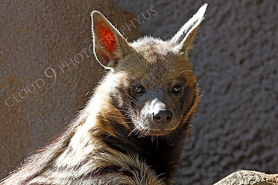 Striped Hyena 00004 by Peter J Mancus