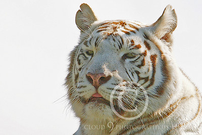 White Bengal Tiger 00001 by Tony Fairey