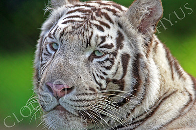 White Bengal Tiger 00009 by Tony Fairey