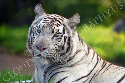 White Bengal Tiger 00007 by Tony Fairey