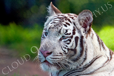 White Bengal Tiger 00004 by Tony Fairey