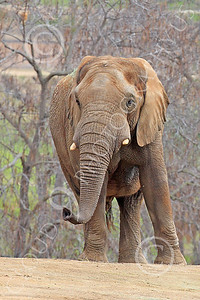 African Elephant 00009 An African elephant sniffs the air with its trunk, by Peter J Mancus