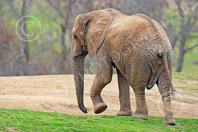 African Elephant 00003 A walking, large, African elephant, by Peter J Mancus