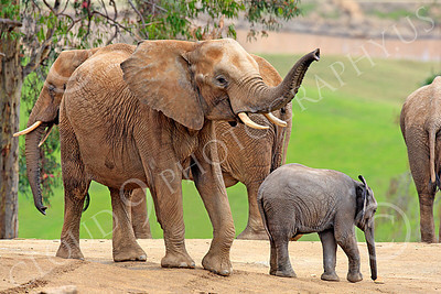 African Elephant 00004 A small heard of African elephants, by Peter J Mancus