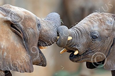 African Elephant 00006 Two playful juvenile African elephants, by Peter J Mancus