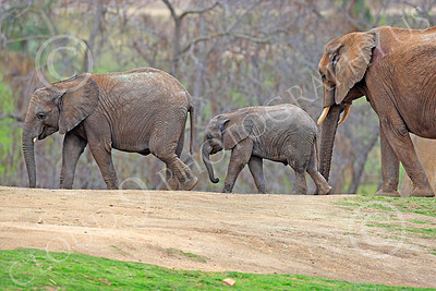 African Elephant 00002 Three walking African elephants, by Peter J Mancus