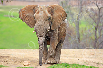 African Elephant 00001 A walking, large, African elephant, by Peter J Mancus