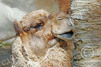 Bactrian Camel 00003 Close up portriat of bactrian camel, by Peter J Mancus