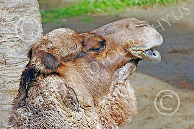 Bactrian Camel 00004 Close up portriat of bactrian camel, by Peter J Mancus