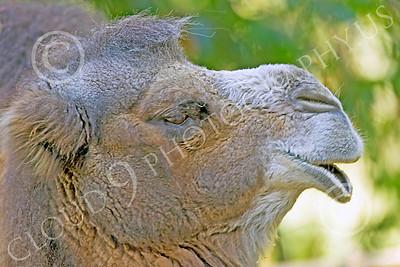 Bactrian Camel 00012 Close up portriat of bactrian camel, by Peter J Mancus