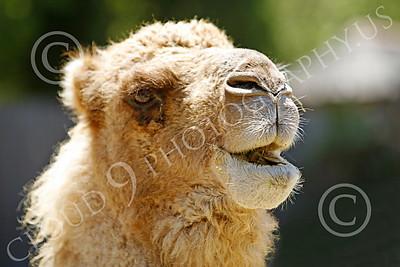 Bactrian Camel 00007 Close up portriat of bactrian camel, by Peter J Mancus