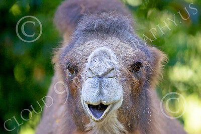 Bactrian Camel 00005 Close up portriat of bactrian camel, by Peter J Mancus