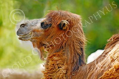 Bactrian Camel 00006 An adult bactrian camel, by Peter J Mancus