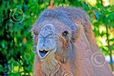 Bactrian Camel 00002 An adult bactrian camel, by Peter J Mancus