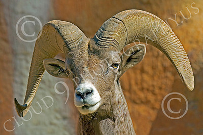 Bighorn Sheep 00003 Close up portrait of a bighorn sheep, by Peter J Mancus