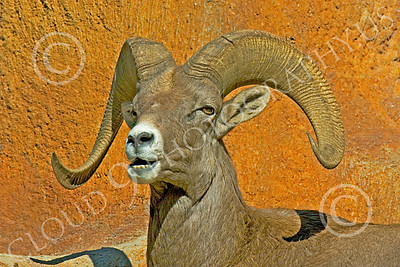 Bighorn Sheep 00001 Close up portrait of a bighorn sheep, by Peter J Mancus