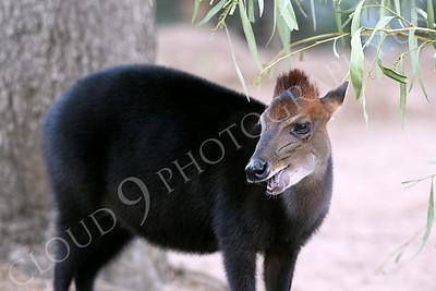 Black Duiker 00001 A standing, open mouth, black duiker, by Peter J Mancus