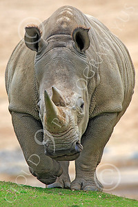 Black Rhinoceros 00001 A head-on view of a mature, walking, black rhinoceros, by Peter J Mancus