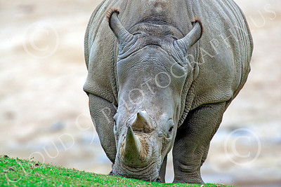Black Rhinoceros 00006 Nature's main battle tank moving up a slope, by Peter J Mancus
