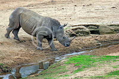 Black Rhinoceros 00004 A thirsty black rhinoceros approaching water, by Peter J Mancus