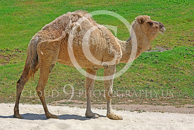 AN - Camel 00101 by Peter J Mancus