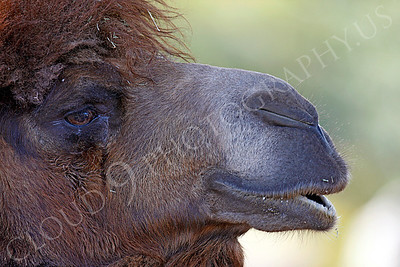 Camel 00005 by Peter J Mancus