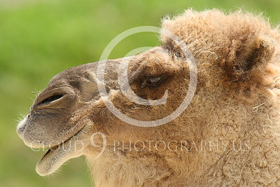 AN - Camel 00102 by Peter J Mancus