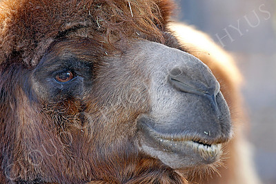 Camel 00011 by Peter J Mancus