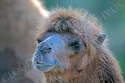 Camel 00002 by Peter J Mancus