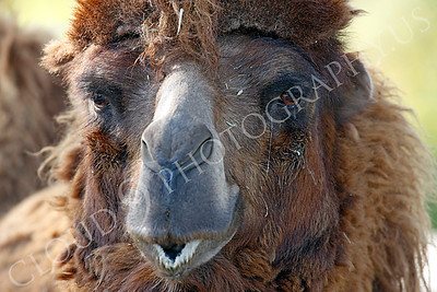 Camel 00015 by Peter J Mancus