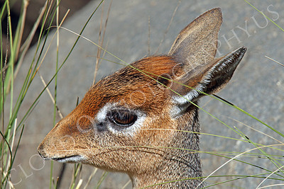 Cavendish's Dik Dik 00001 Tight crop of a Cavendish's dik dik's head, by Peter J Mancus