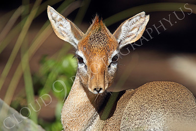 Cavendish's Dik Dik 00002 A Cavendish's dik dik's looks straight ahead, by Peter J Mancus