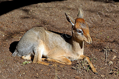 Cavendish's Dik Dik 00003 A reclined Cavendish's dik dik, by Peter J Mancus