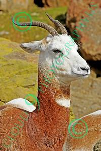 Dama (Addra) Gazelle 00001 A standing adult dama (addra) gazelle, by Peter J Mancus